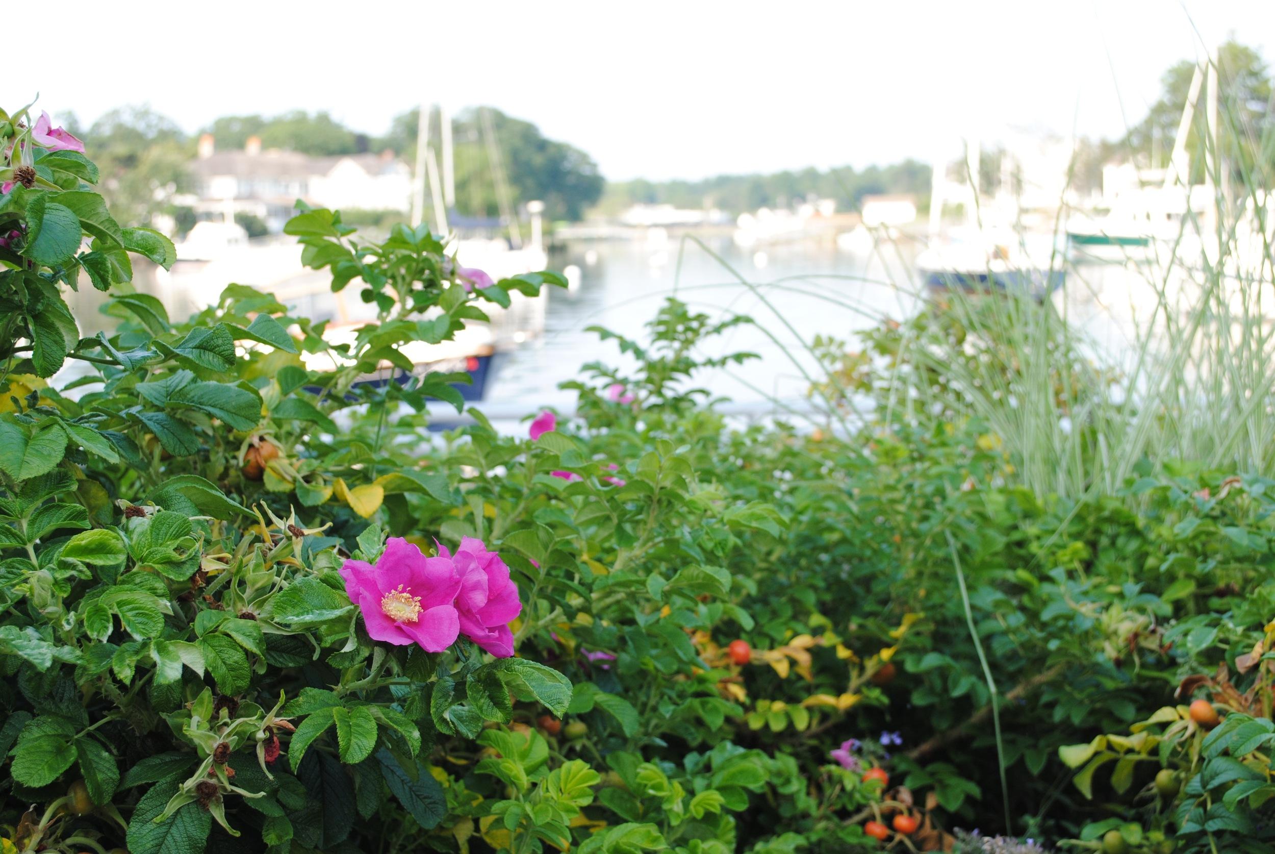 waterfront-rose.jpg