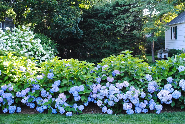 hydrangea-good-gardens.JPG