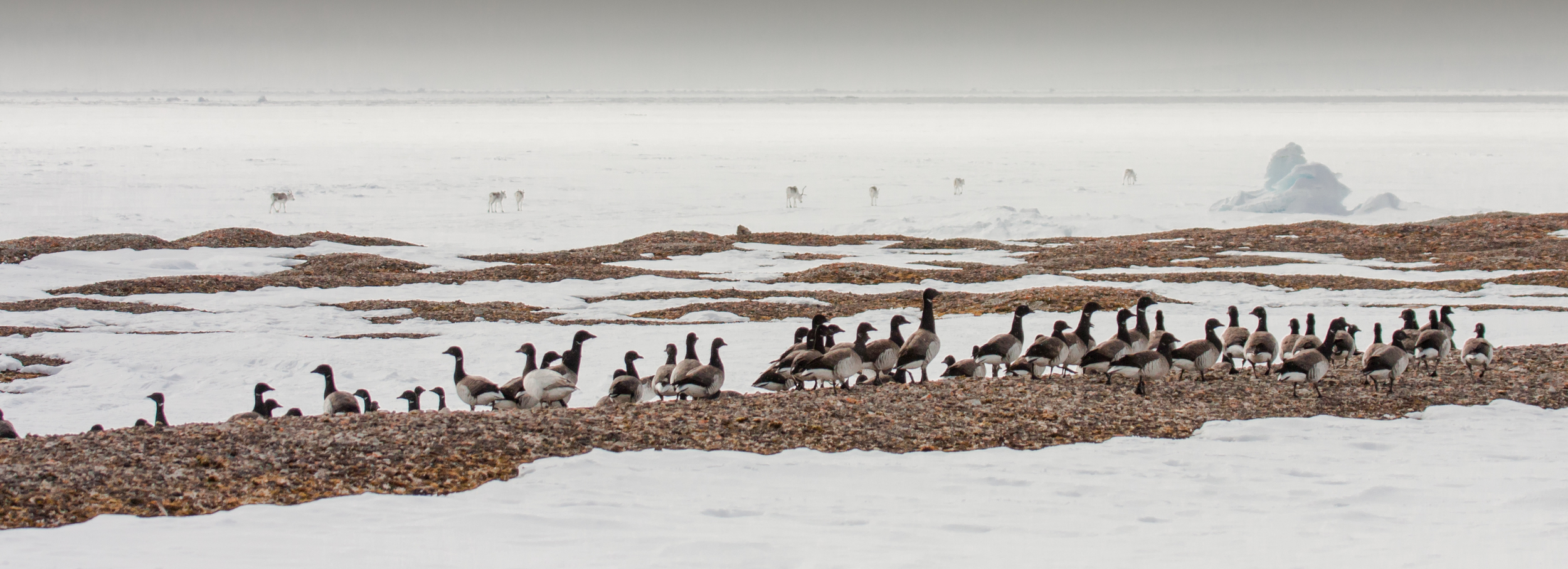 High Arctic brant and Peary caribou, two species we are always happy to see in the early season at Nasaruvaalik Island