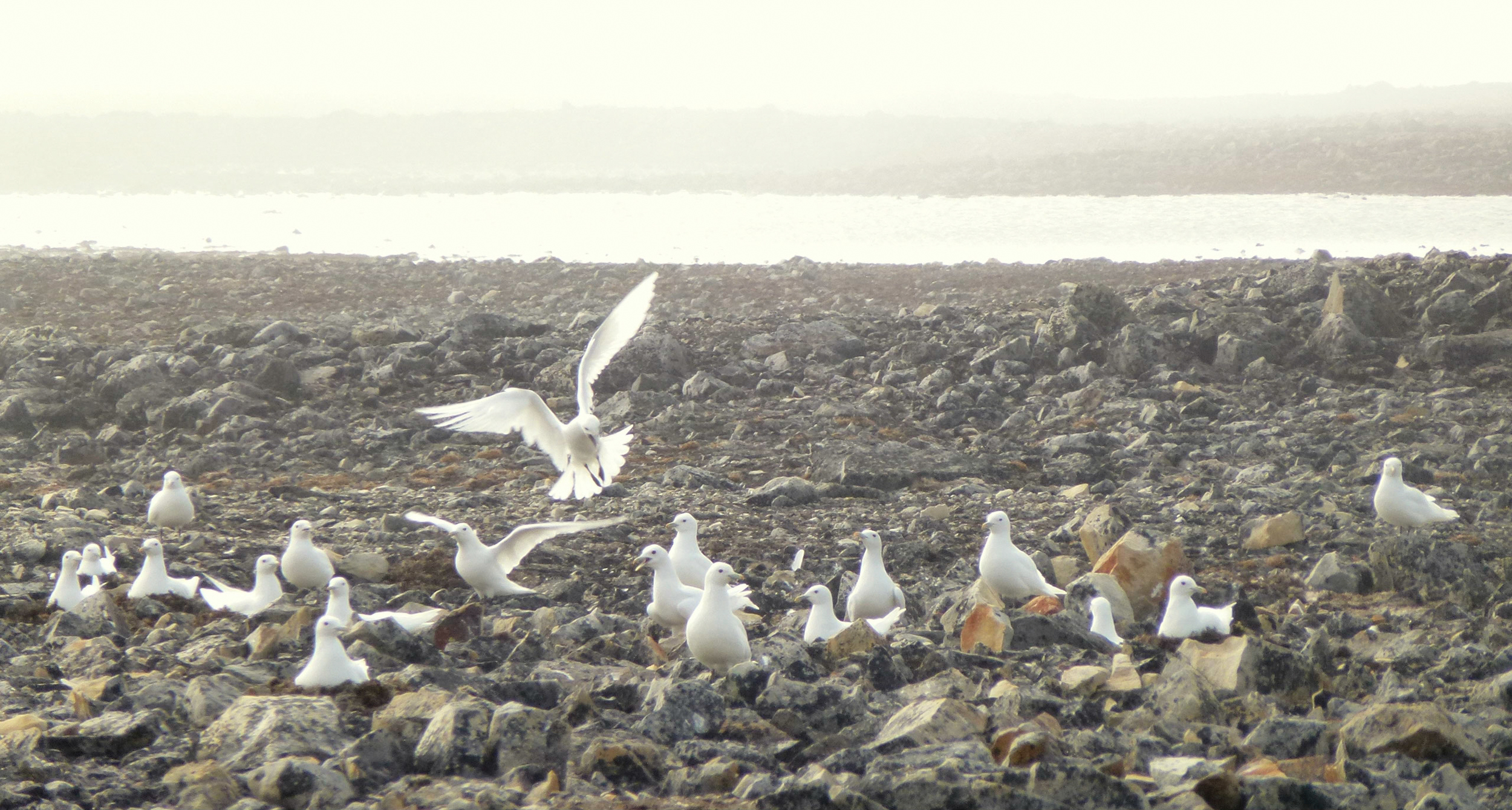 Ivory gulls at Seymour Island. It seems unlikely that any species nests in more desolate habitat.