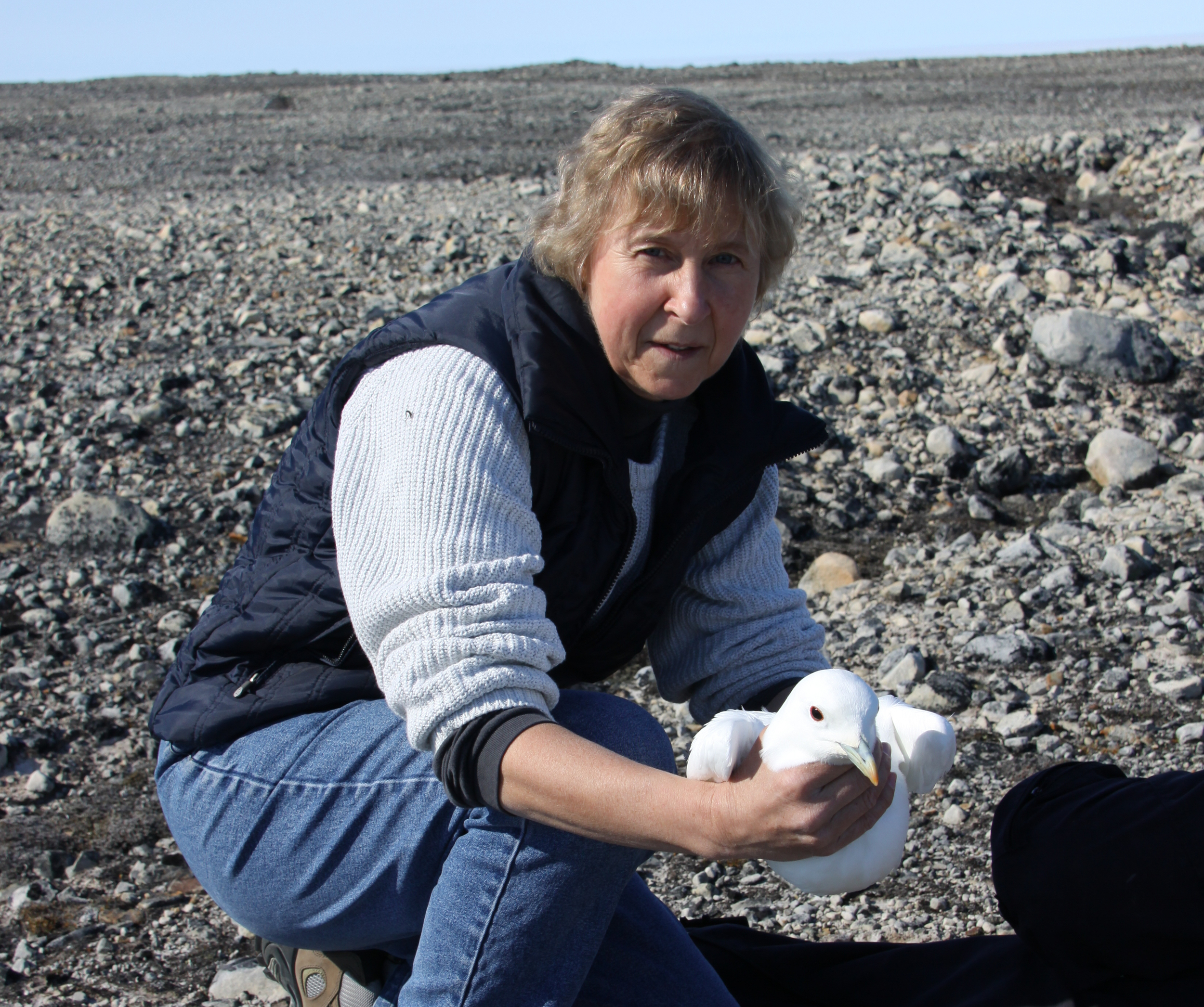Dr. Birgit Braune is a Research Scientist with Environment Canada whose primary interest is in environmental contaminants in the Arctic marine environment, and how those contaminants may affect seabirds, including High Arctic gulls. She has been involved with ongoing studies of birds at Seymour, Nasaruvaalik, and Prince Leopold Island.