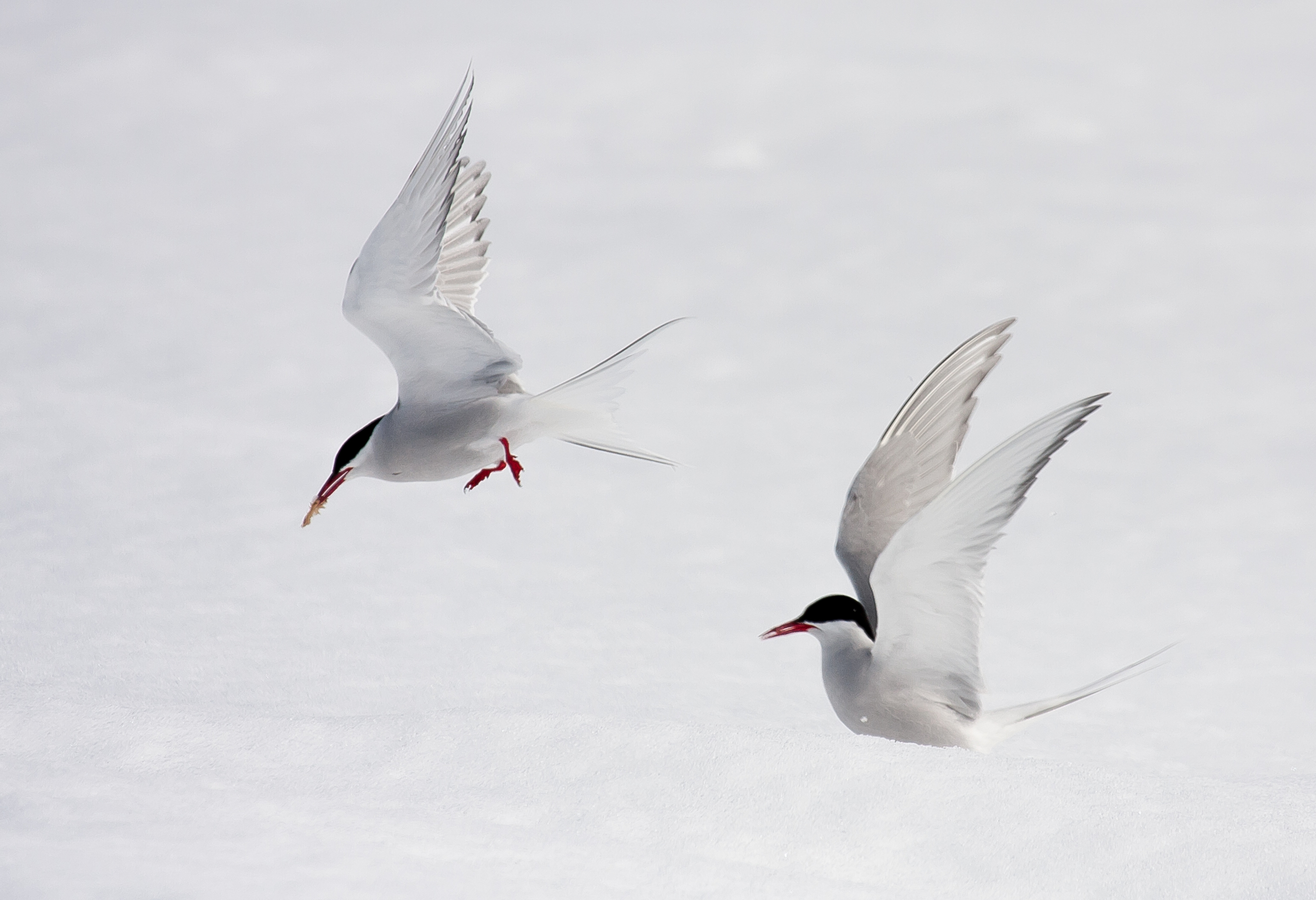 Arctic terns are the focus of a long-term monitoring project on Nasaruvaalik Island since 2007. These amazing birds migrate up to  90,000  km annually between their breeding grounds in the north and their wintering areas near Antarctica. Working with terns requires an iron will and protective headgear, as entire colonies band together to mob predators and scientists alike, dive-bombing their target with deadly accuracy (and the bird version of glee).