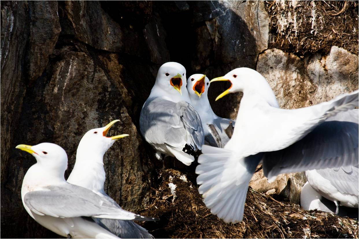 Black-legged kittiwakes nest in huge colonies throughout the circumpolar Arctic. Useful as indicators of the marine ecosystem at large, they are one of the most well-studied species in the north. They are one of the most annoying yet lovable birds out there, and while behavioural observations of some species are akin to watching paint dry, an afternoon spent next to a nesting ledge of kittiwakes is more like watching a  high-octane Mexican soap opera