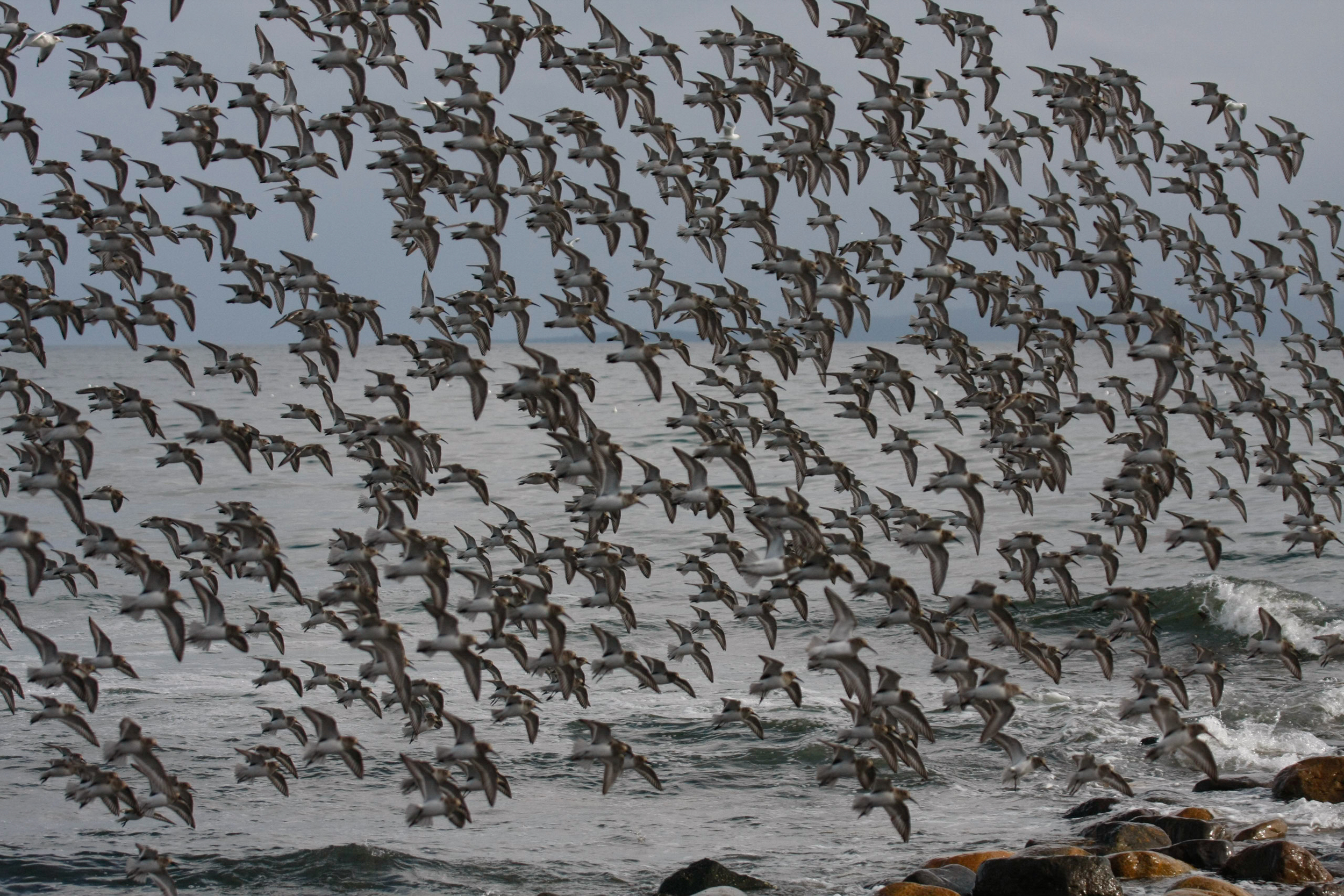 A big flock of shorebirds. Get used to it son....it's that time of year!