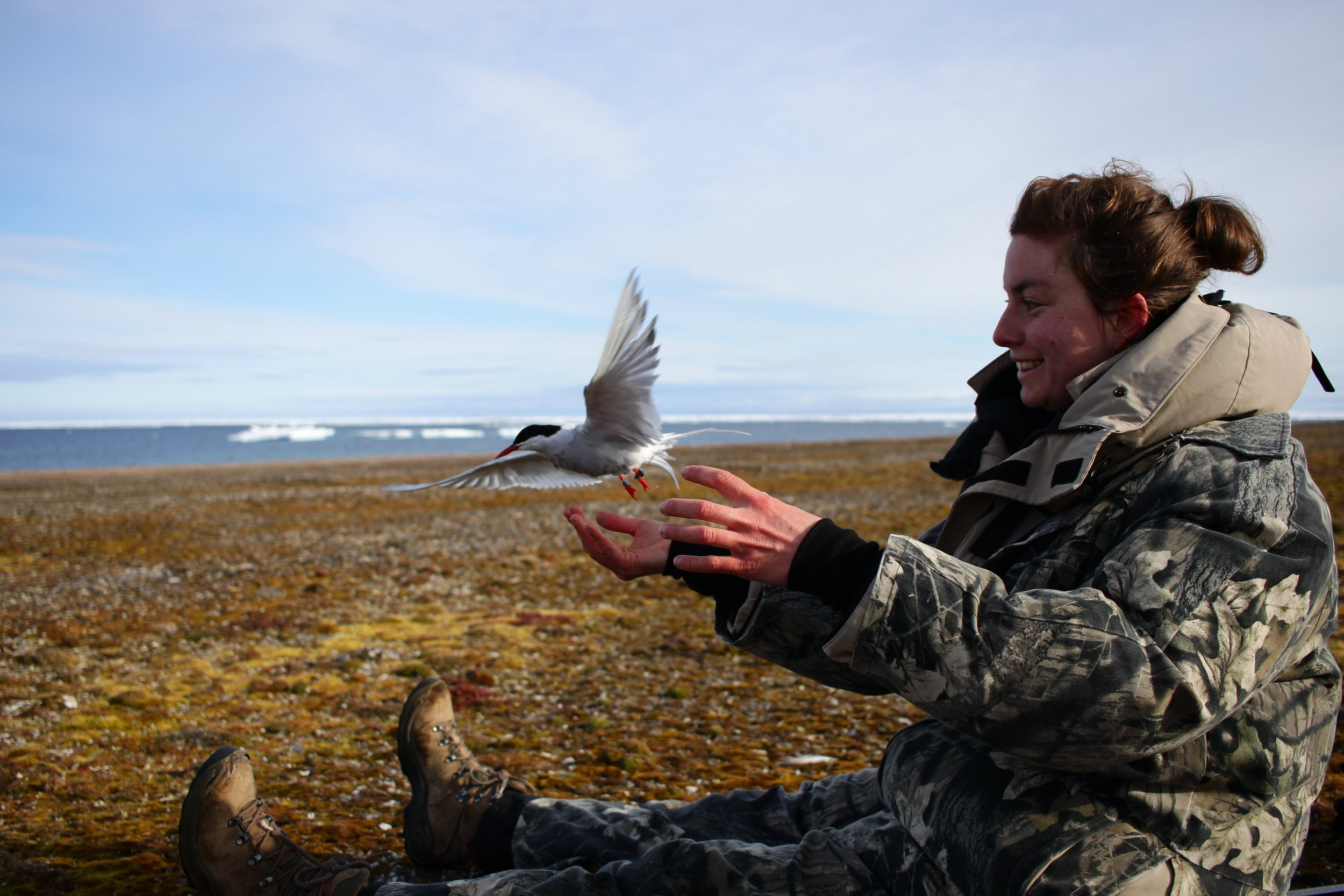 HAGRG biologist Isabeau Pratte releases a just-tagged tern on Nasaruvaalik Island in the Canadian High Arctic. You can see the small black tag attached to the bird's left leg.