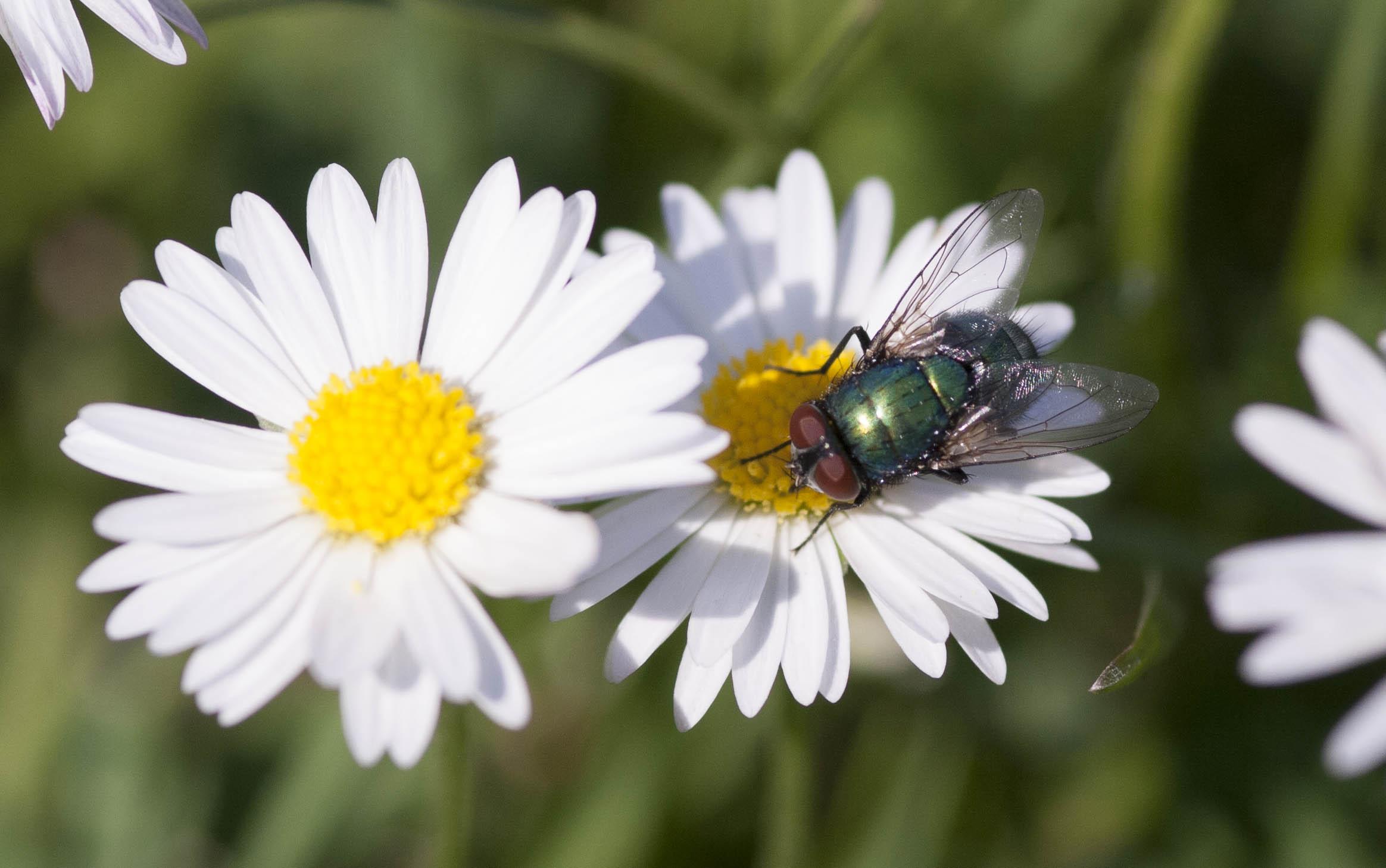Huisvlieg (één van mijn eerste macrofoto's)
