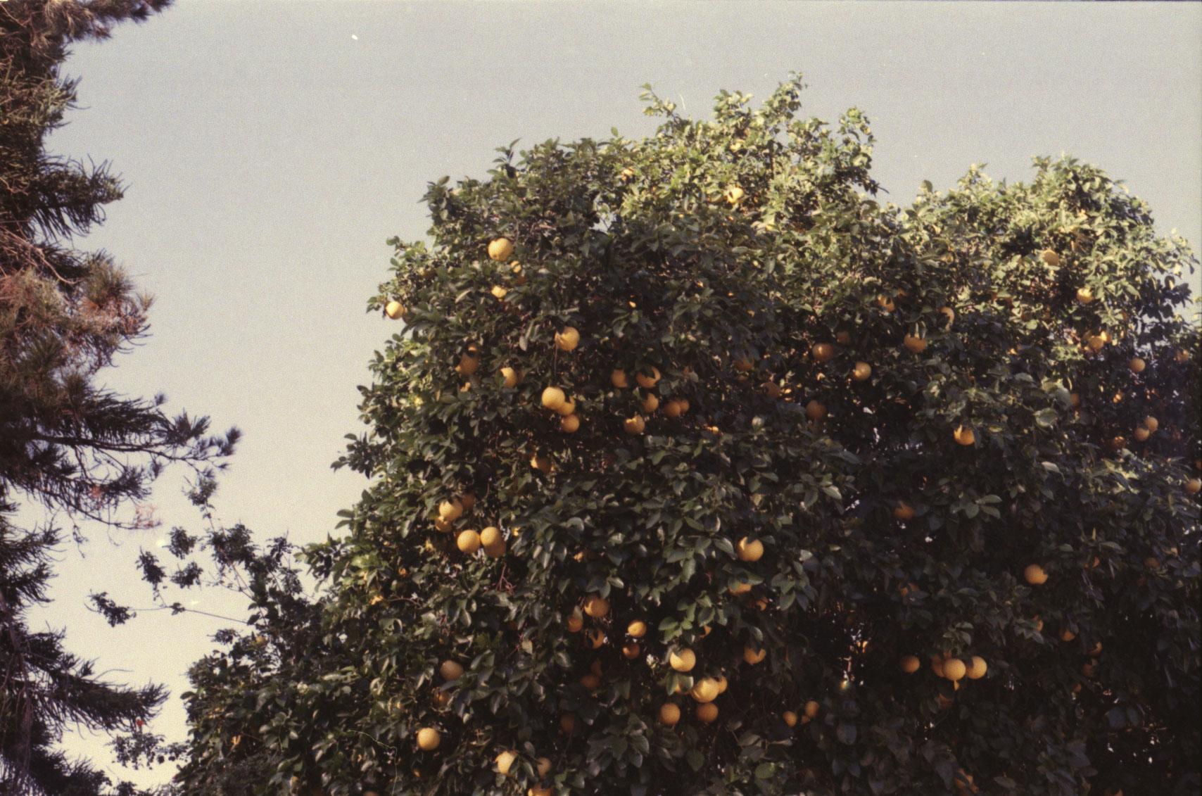 Our friend's grapefruit tree
