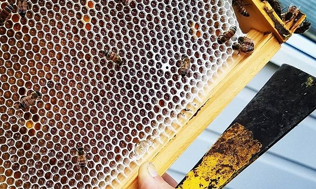 This is comb honey before the bees put the 'lid' on!  Once the honey is capped, we beekeepers know the honey has cured and can be harvested. Of course, we only harvest after we have ensured the bees have enough to feed themselves.