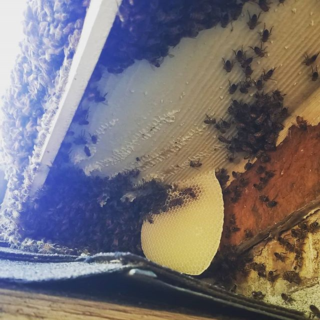 #TFW You you show up to a swarm call, visually verify that it's a swarm,  then start digging and hit comb instead. Oooppsadaisy! Scroll right to see a backwards look at how I was misled 😆