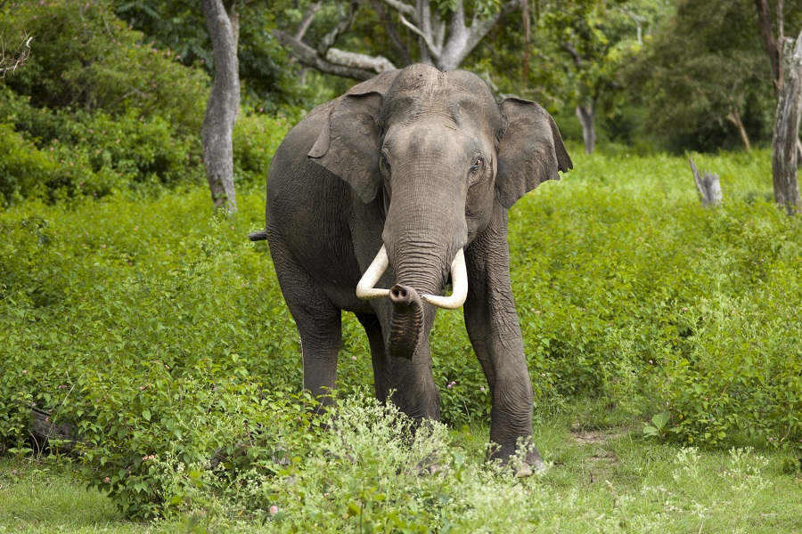"""Elephas maximus (Bandipur)"" by Yathin S Krishnappa - Own work. Licensed under CC BY-SA 3.0 via Wikimedia Commons"