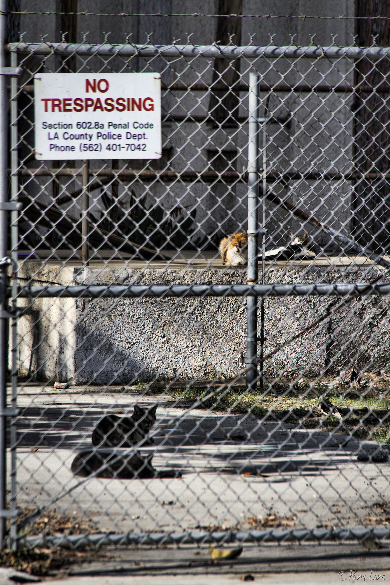 Feral cats roam the abandoned South Rancho campus. Photo by Pam Lane, DowneyDailyPhotos.com