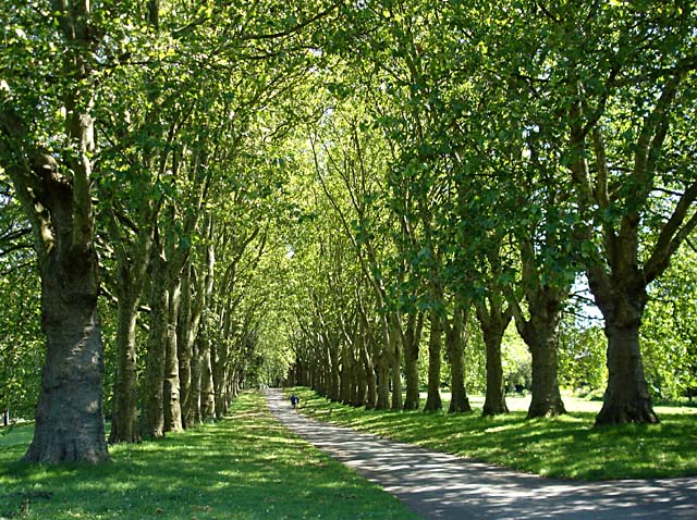 Avenue_of_trees_in_St_Georges_Park_-_geograph.org_.uk_-_492115.jpg