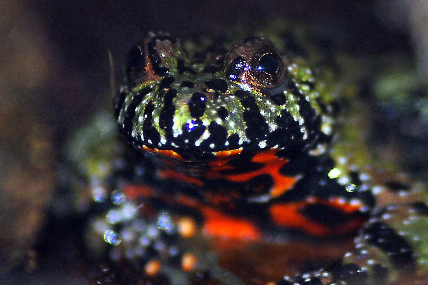 Fire Bellied Toad