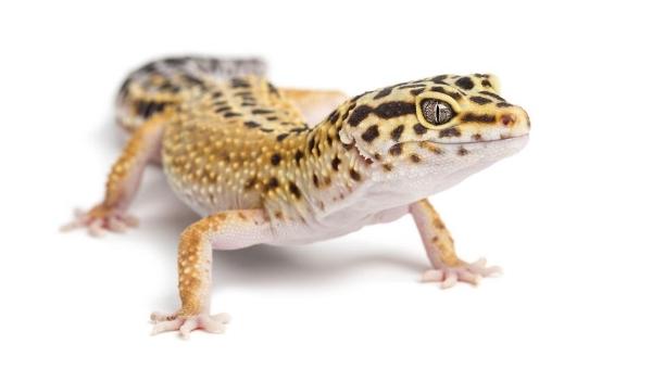 Leopard Gecko image.jpg
