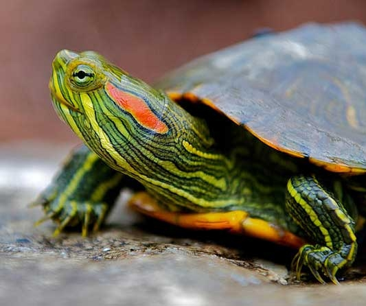 slider-turtle.jpg