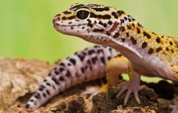 Leopard Gecko Image 1.jpg