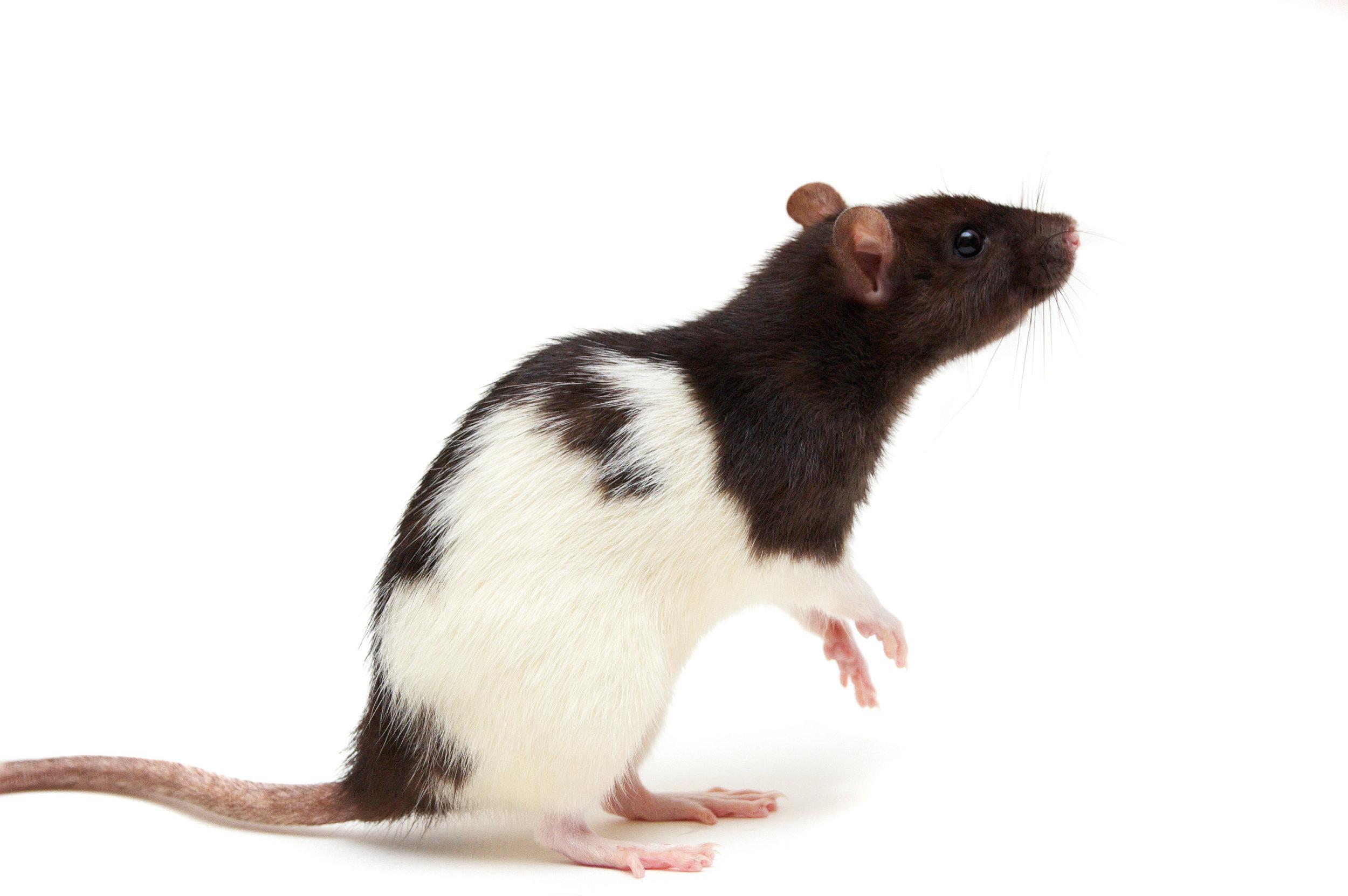 Rat-Afterlife.jpg