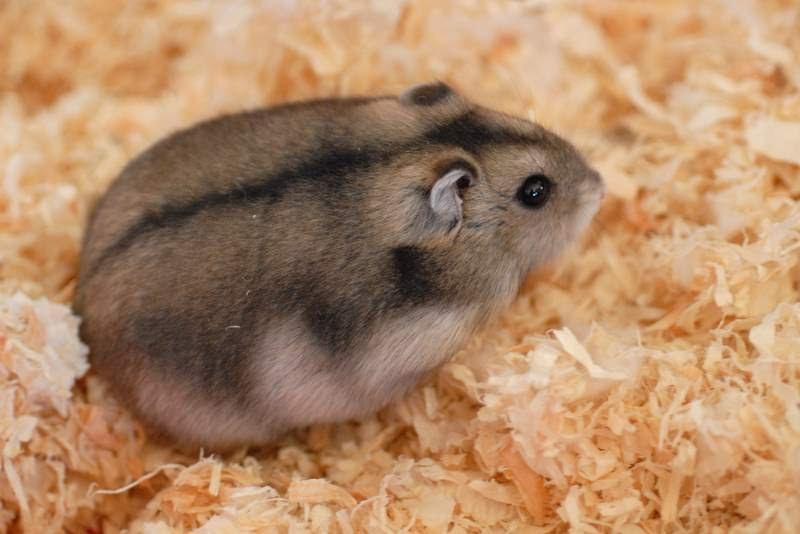 Dwarf Hamster.jpg
