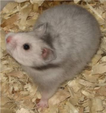 Fancy Hamster.jpg