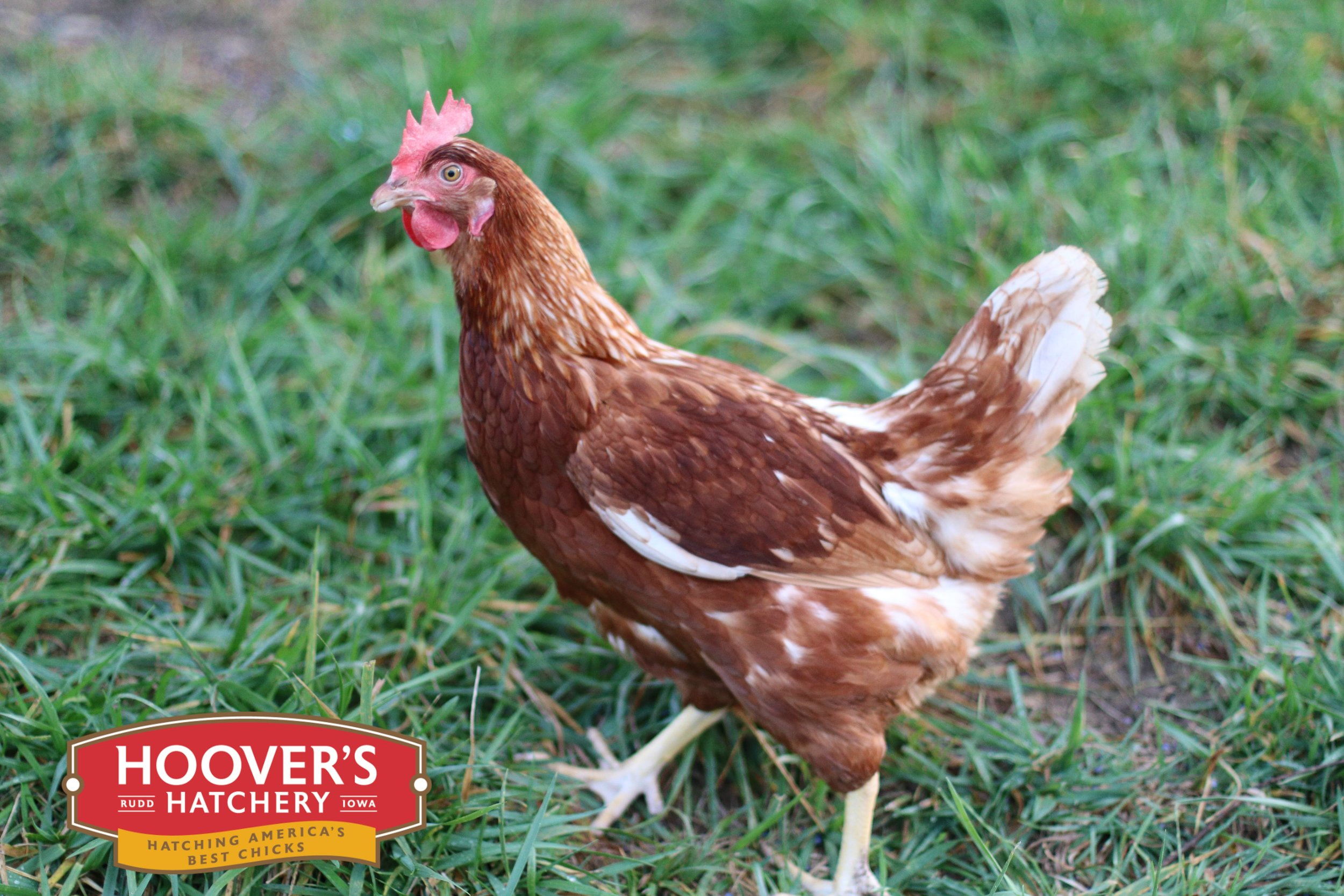Cinnamon Queen - A beloved breed that takes the best qualities from its parents, a Rhode Island Red rooster and a Silver Laced Wyandotte hen. The Cinnamon Queens are wonderful egg layers and can take the cold hardiness of winter, ensuring that you will have eggs all year long. APPROX. 260 LARGE EGGS/YEAR | EGG COLOR: BROWN | MATURE WT: MALE 6 LBS. FEMALE 5 LBS.