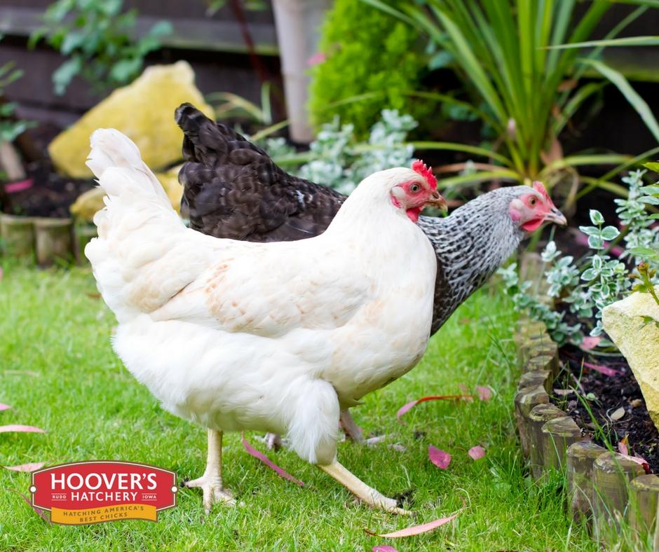 Chicken Feed & Supplies — FLUEGEL'S