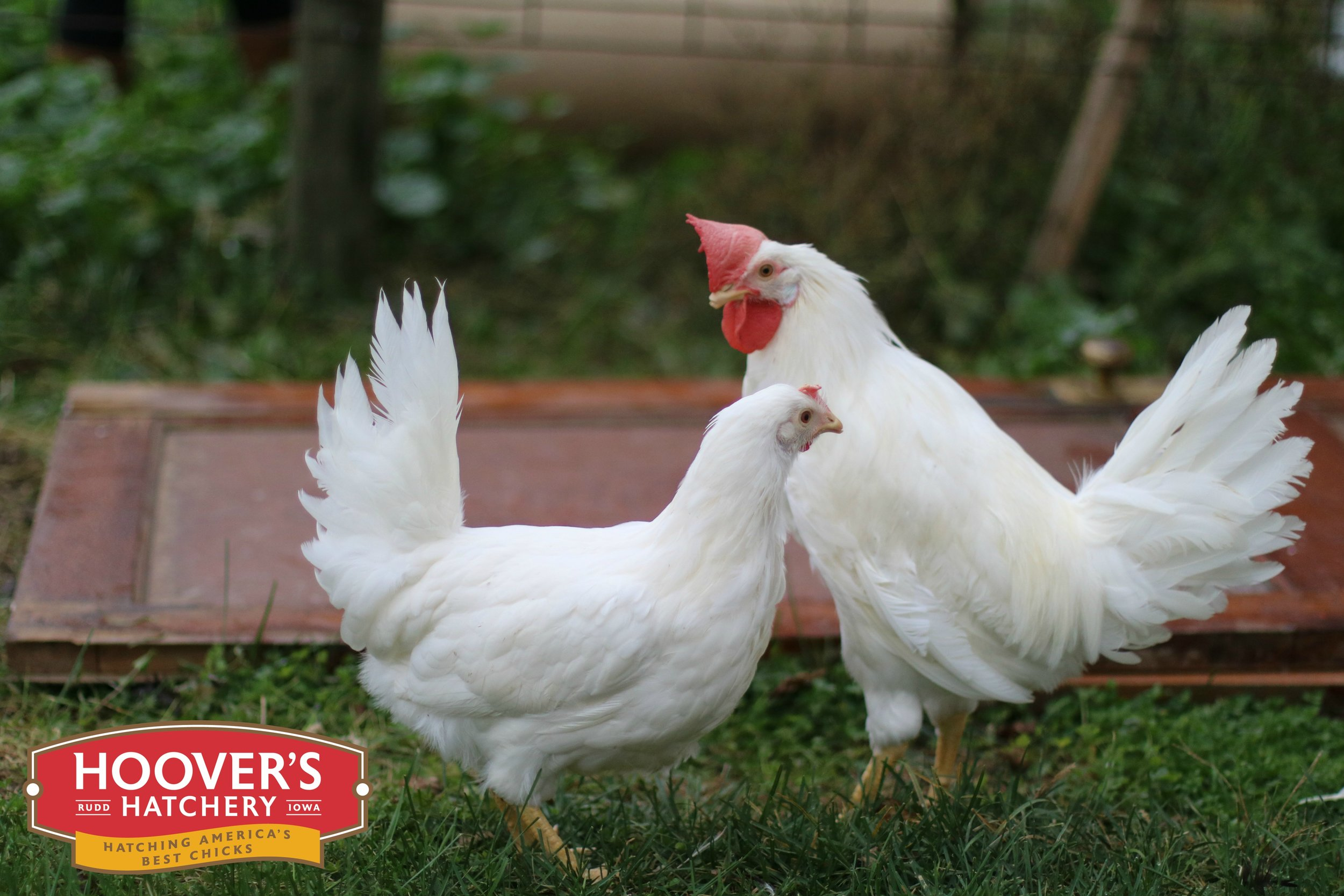 White Leghorn - Years ago a small amazingly productive chicken breed was imported from Italy through the port of Livorno.