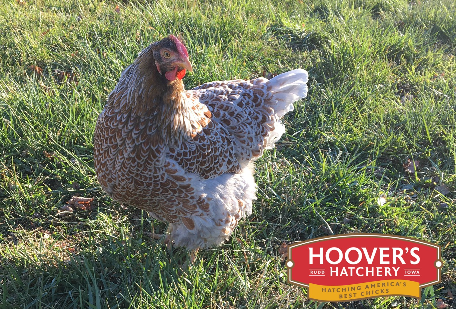 Blue Laced Red Wyandotte - These lacy girls aren't all show with their elegantly patterned feathers, they are also great egg layers. Wyandottes are one of the most strikingly beautiful chickens to grace a backyard flock. Developed in New York, they are quiet, easy to manage and one of the most winter hardy of all breeds. The Blue Laced Red Wyandotte is sold as straight run only. APPROX. 245 MEDIUM EGGS/YEAR | EGG COLOR: CREAM | MATURE WT: MALE 7 LBS. FEMALE 5 LBS.