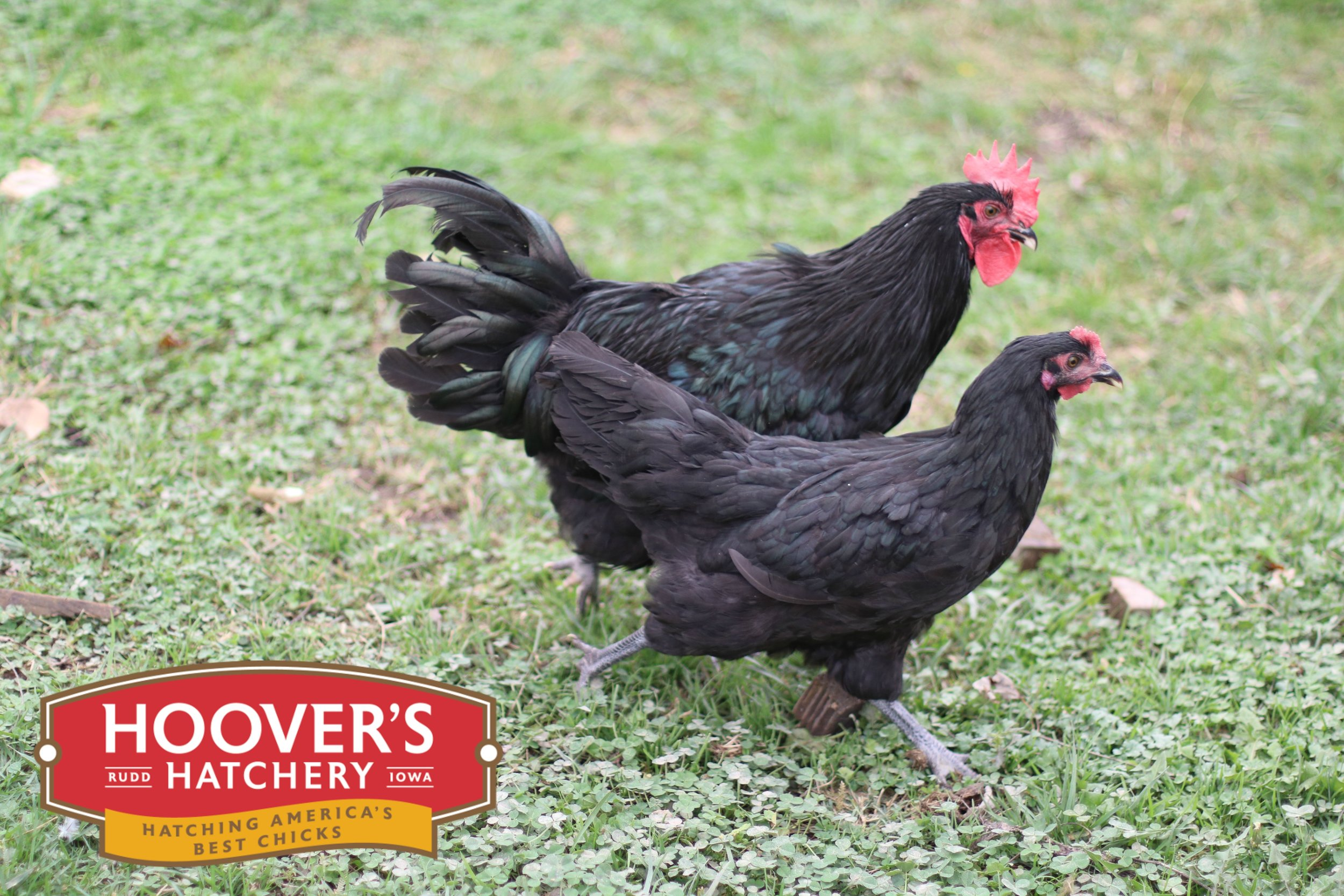 Black Maran - The Maran breed originates from a town called Marans, France. It is a very winter hardy breed with a docile temperament. This breed is known to be more athletic and taking to foraging and free ranging more often than other breeds. The Black Maran lays a lighter brown egg, unlike the Black Copper Maran that lays a very dark brown egg. These tough birds make a great addition to any backyard flock. APPROX. 200 MEDIUM EGGS/YEAR | EGG COLOR: BROWN | MATURE WT: MALE 6 LBS. FEMALE 4.5 LBS.