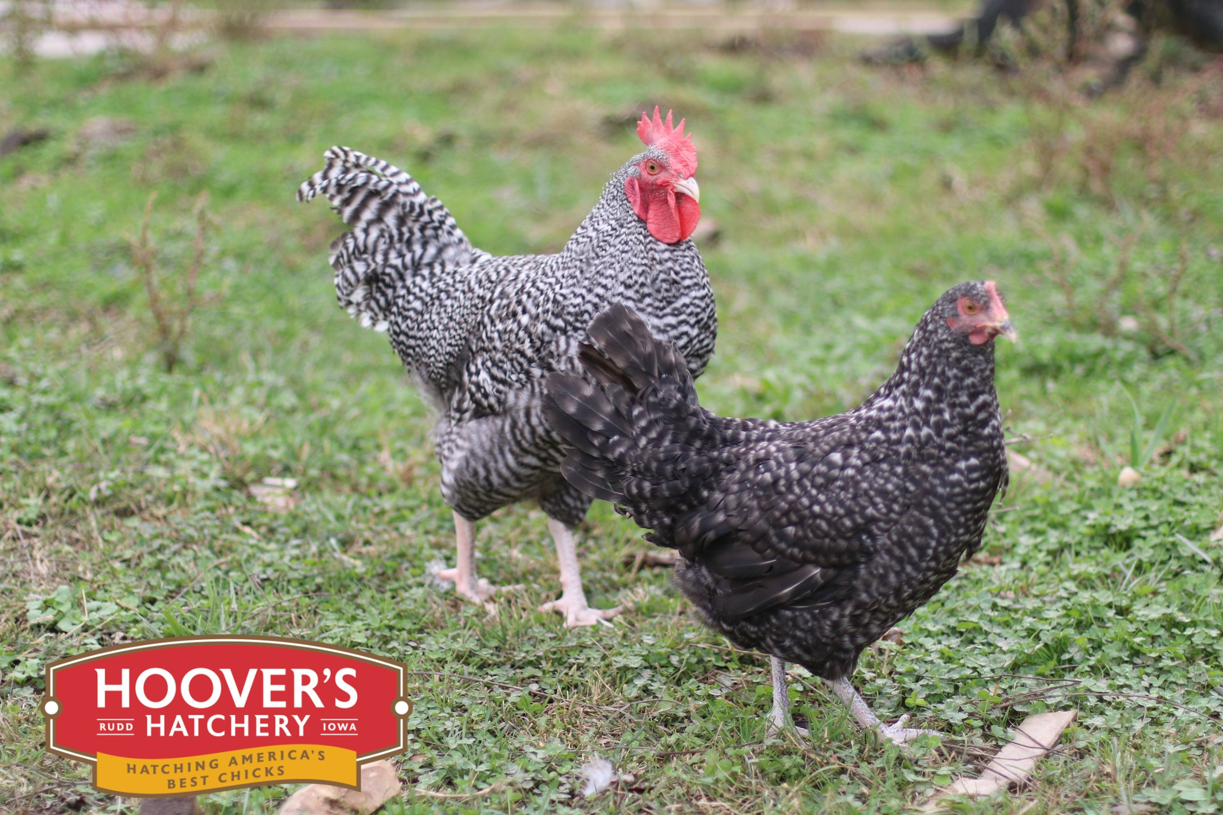Cuckoo Maran - The Maran breed originates from a town called Marans, France. It is a very winter hardy breed with a docile temperament. They tend to be more athletic, taking to foraging and free ranging more often than other breeds. Marans lay dark brown and dark speckled eggs. These tough birds make a great addition to any backyard flock. APPROX. 200 MEDIUM EGGS/YEAR | EGG COLOR: BROWN | MATURE WT: MALE 6 LBS. FEMALE 4.5 LBS.