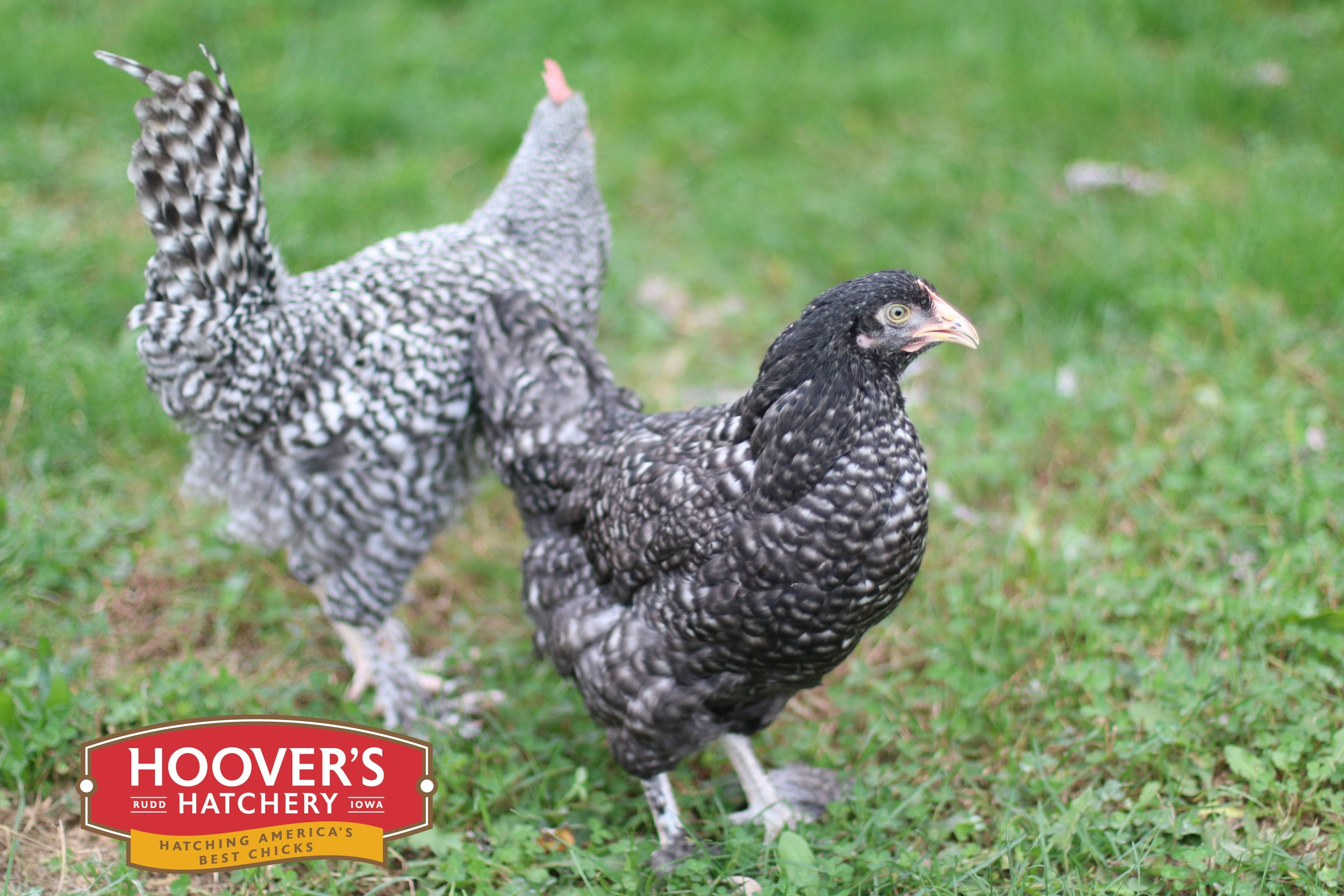 French Cuckoo Maran - The Maran breed originates from a town called Marans, France. It is a very hardy breed with a docile temperament. This breed tends to be more athletic, taking to foraging and free ranging more often that other breeds. The hens lay dark brown and dark speckled eggs. These tough birds make a great addition to any backyard flock. The French Cuckoo Maran is sold in straight run only. APPROX. 200 MEDIUM EGGS/YEAR | EGG COLOR: BROWN | MATURE WT: MALE 6 LBS. FEMALE 4.5 LBS.