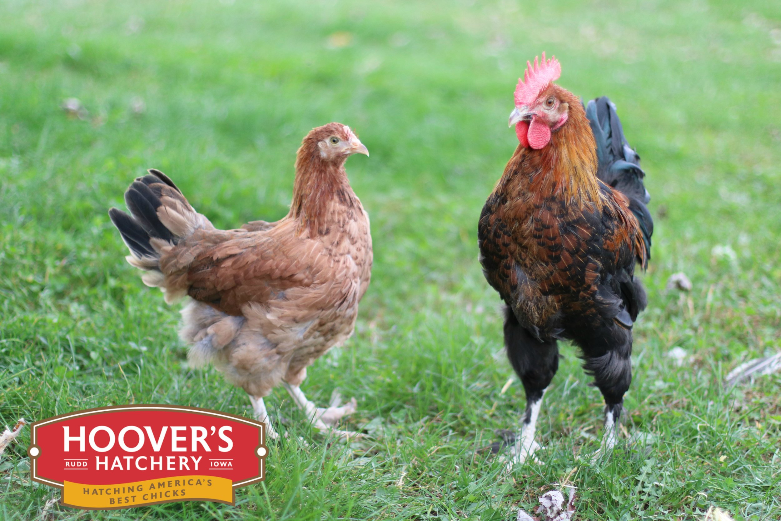 French Wheaton Maran - The Maran breed originates from a town called Marans, France. It is a very hardy breed with a docile temperament. This breed tends to be more athletic, taking to foraging and free ranging more often that other breeds. The hens lay dark chocolate eggs. These tough birds make a great addition to any backyard flock. The French Wheaten Maran is sold in straight run only. APPROX. 200 MEDIUM EGGS/YEAR | EGG COLOR: BROWN | MATURE WT: MALE 6 LBS. FEMALE 4.5 LBS.