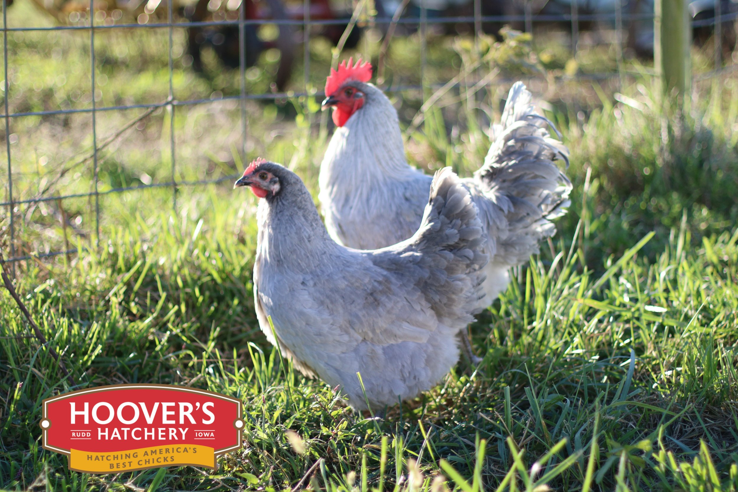 Lavender Orpington - One of the best breeds for newcomers to chickens, and for families with young children. Named for the English town where they were developed, Orpingtons come in several feather colors but all are big quiet birds with fluffy feathers that keep them toasty warm during frigid weather. Lavender Orpingtons are sold in straight run only. APPROX. 220 MEDIUM EGGS/YEAR | EGG COLOR: BROWN | MATURE WT: MALE 8.5 LBS. FEMALE 7 LBS.