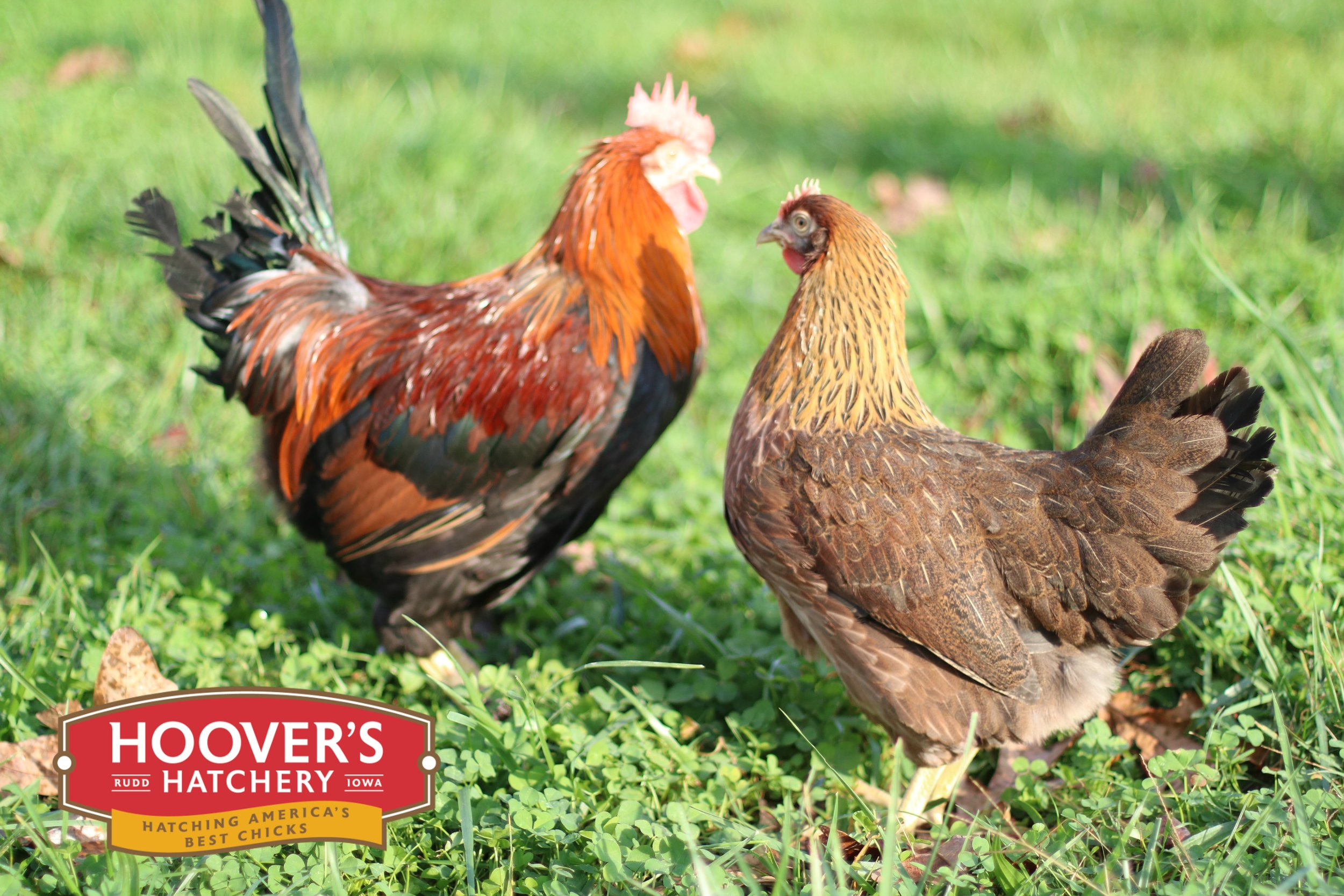 Welsummer - The Welsummer hen lays large eggs which are a terracotta dark brown, often with dark speckles. It is a light, friendly, and intelligent breed, with rustic-red and orange color. Like the Marans the Welsummer tends to be more athletic, taking to foraging and free ranging more often than other breeds. APPROX. 250 LARGE EGGS/YEAR | EGG COLOR: DARKER BROWN | MATURE WT: MALE 6 LBS. FEMALE 4.5 LBS