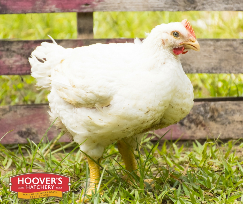 Cornish Cross Broiler - Cornish Cross broilers require special feeding and care but grow astonishingly fast. They weigh nearly six pounds when only six weeks old by efficiently converting feed into flesh. Cornish Cross Broilers are the best choice for a person who wants to quickly produce delicious meat and has no plan to save hens for egg-production. MATURE WT: MALE 9-11 LBS, FEMALE 8-9 LBS.