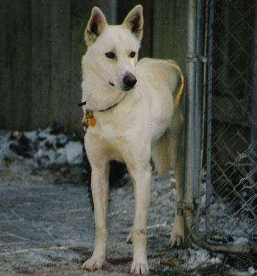 Togo. Dustin's first lead dog.