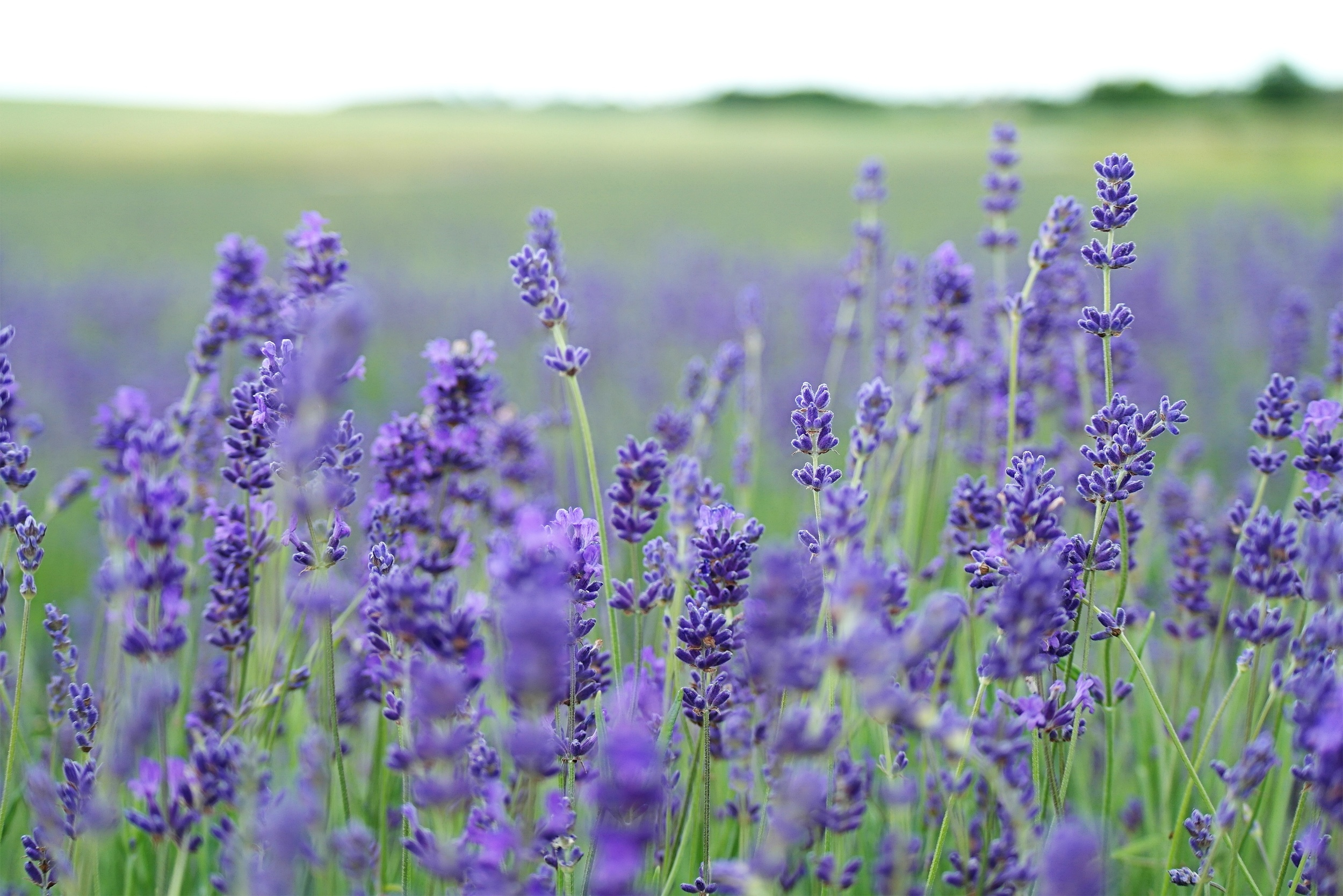 lavender essential oil blog.jpg
