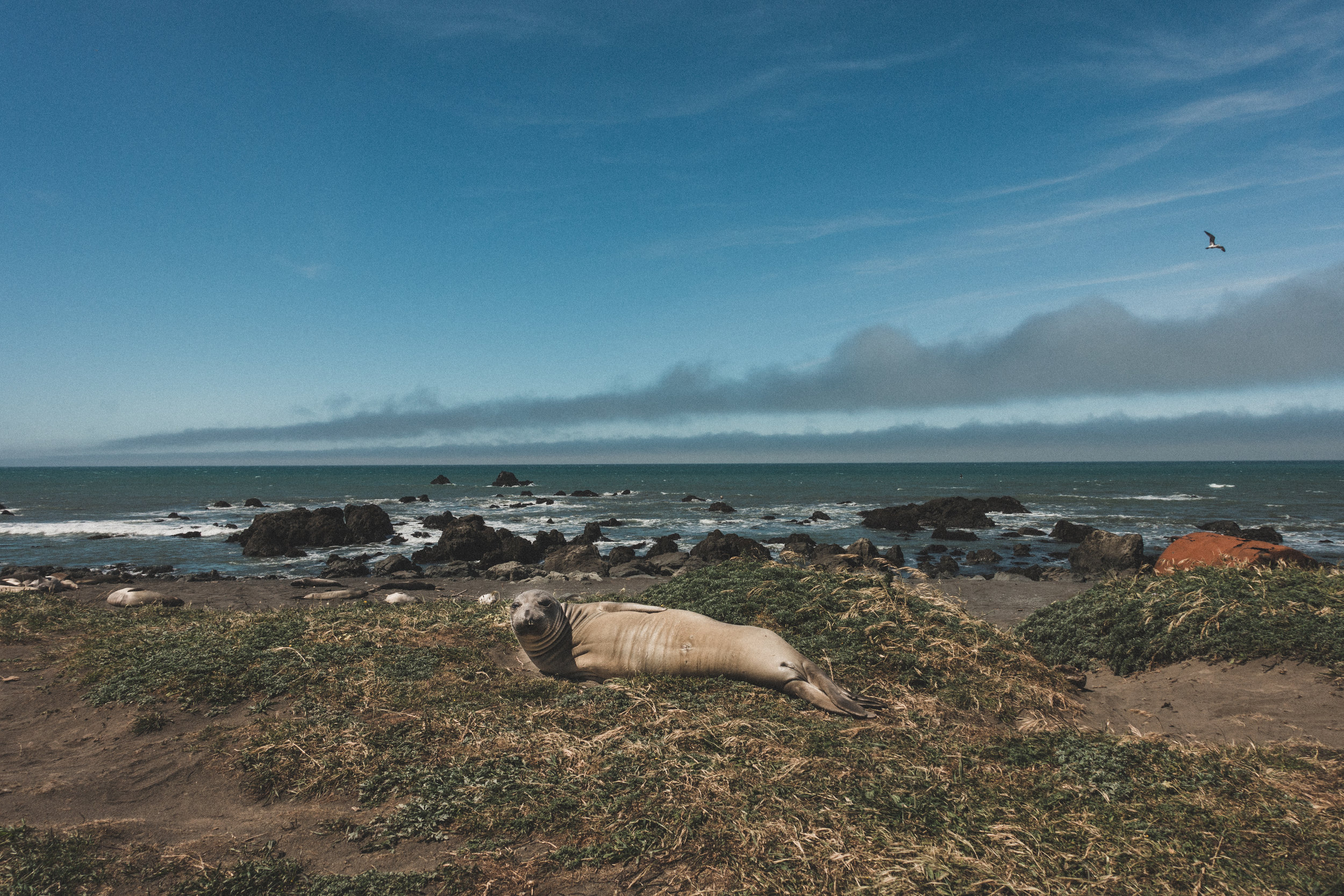 Seals at the Lost Coast
