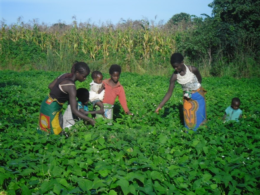 Mother and her children from Mpima Women's Group picking green bean leaves. A symbol of joy on green on 17th March 2017