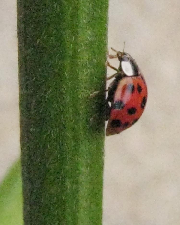 Monet  ladybug