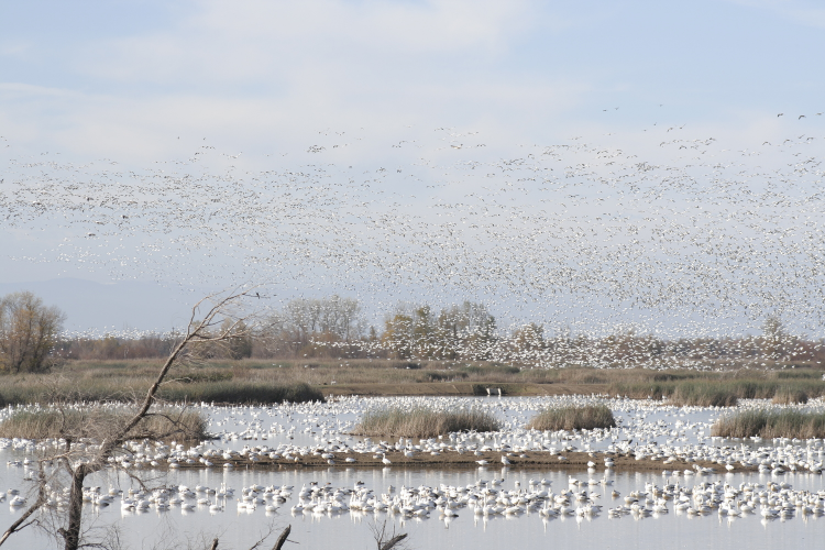 Snow Geese Grey Lodge Wildlife Area,   Butte  ,  California October 2011