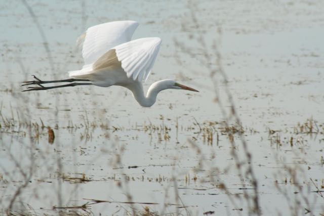 Great Egret. Yolo Bypass Wildlife Area, California