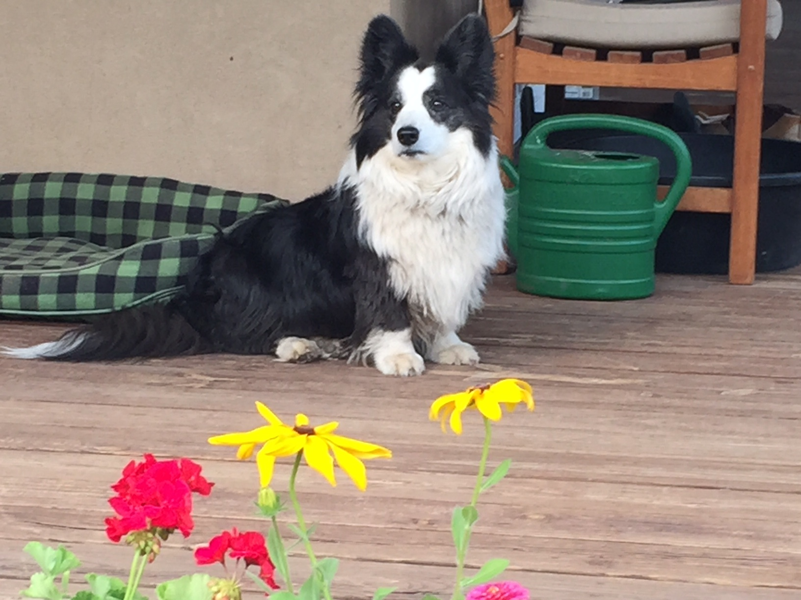 Bella guarding the porch in Sapello, New Mexico .