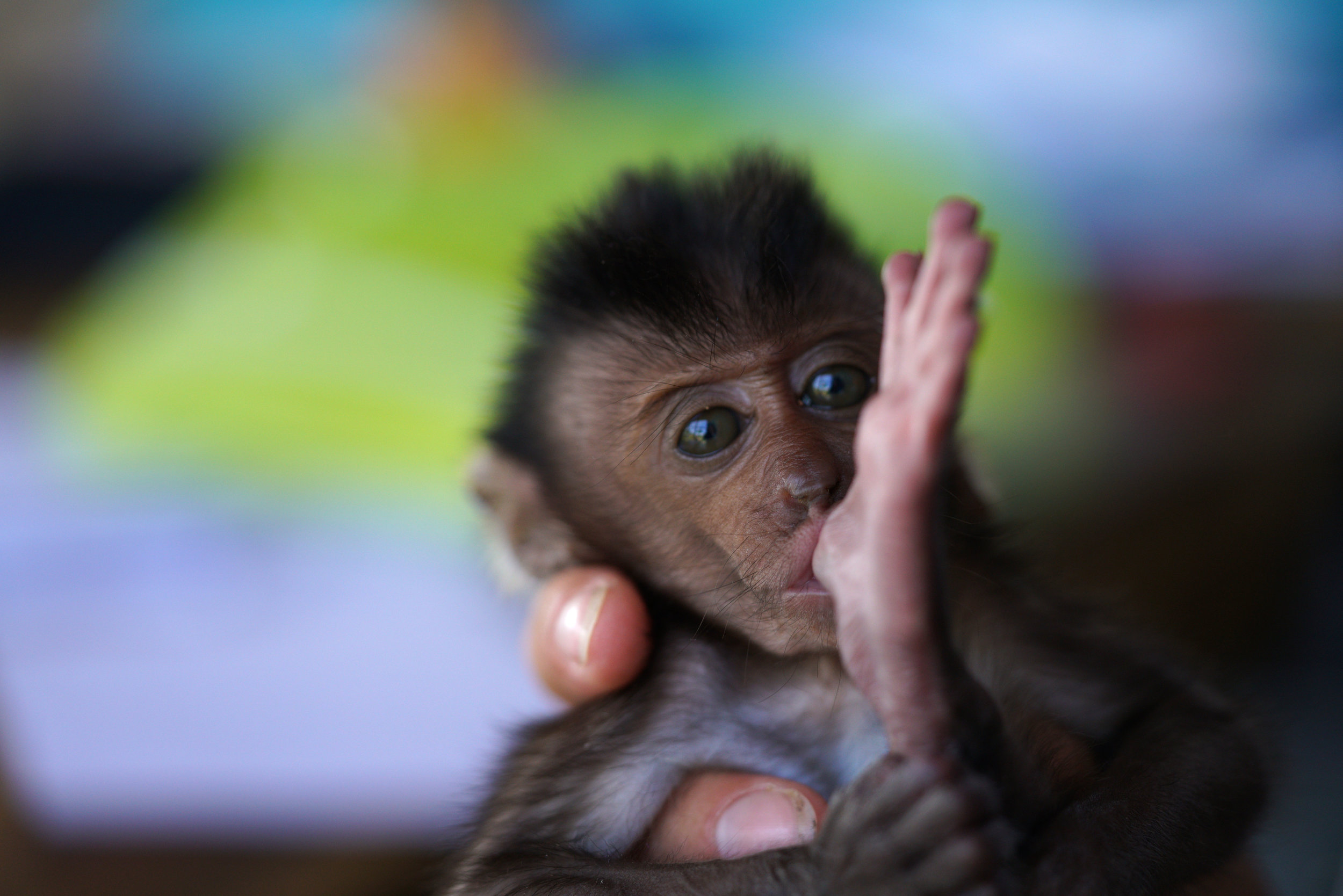 Foster Monkey, Sumbawa, Indonesia
