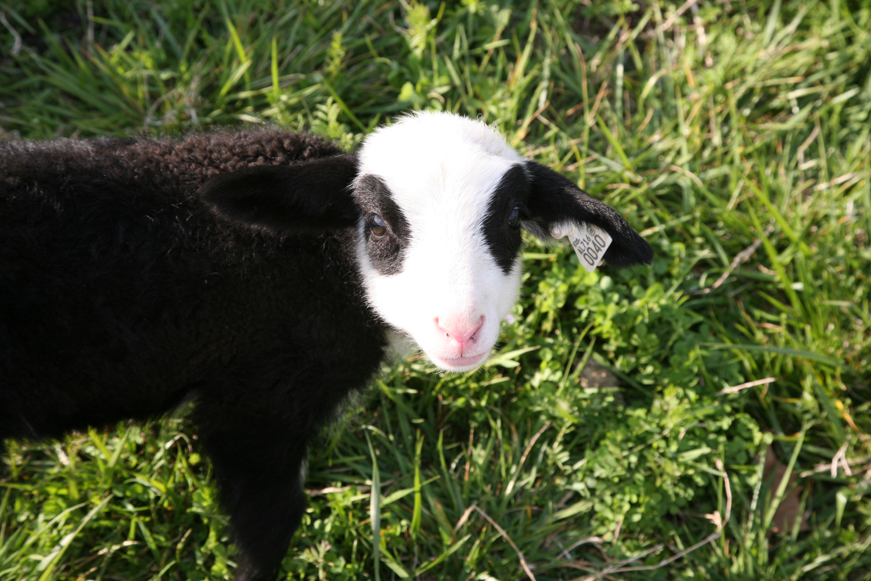 DSD-Lamb-Cuteness-2.png