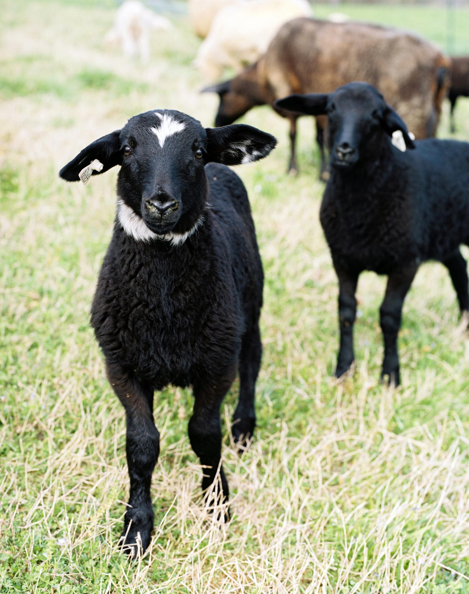 DSD-Lamb-Cuteness-3.png