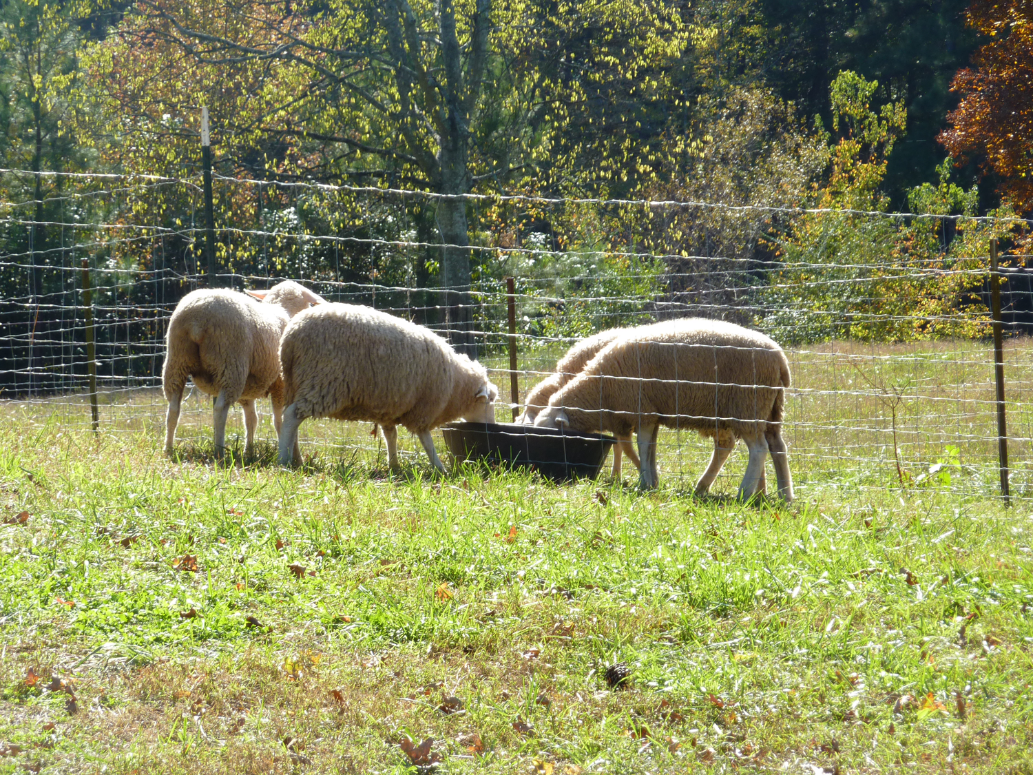 DSD-Lambs-Drinking.png