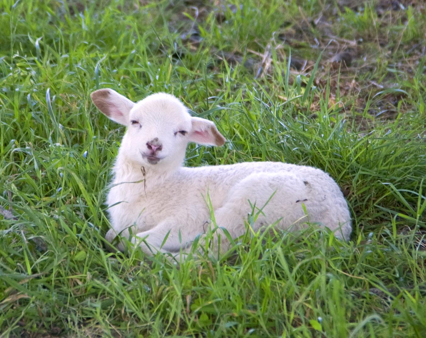 DSD-Smiling-Lamb.png