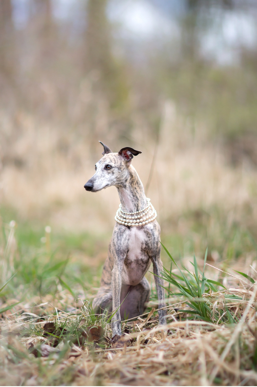 Whippet-posing-wedding-photography-blog
