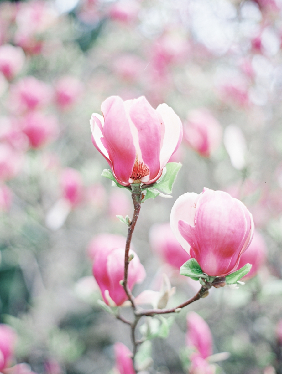 Japanese-Magnolia-Vancouver-Spring