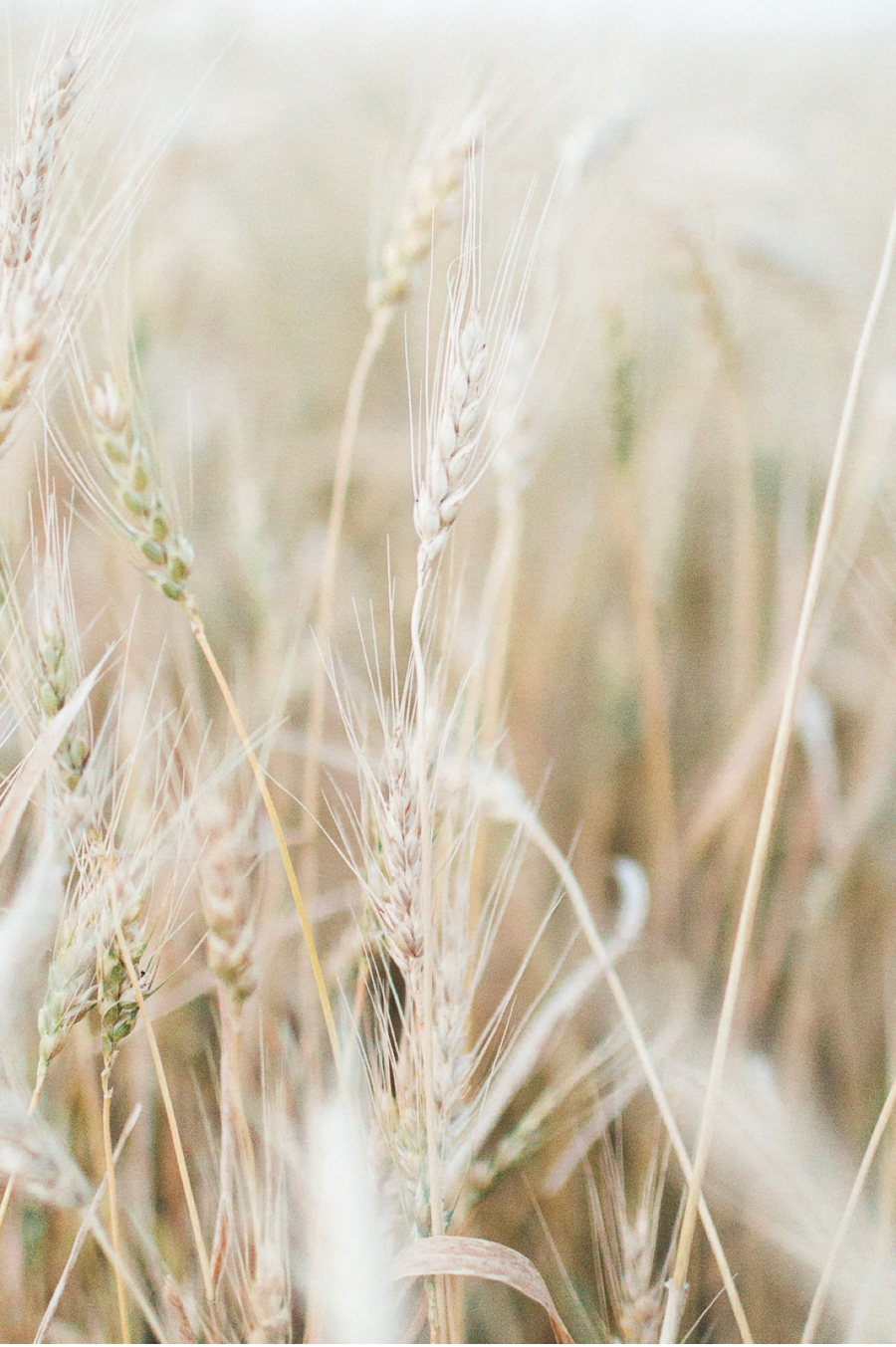 Wheat-field-harvest-Manitoba